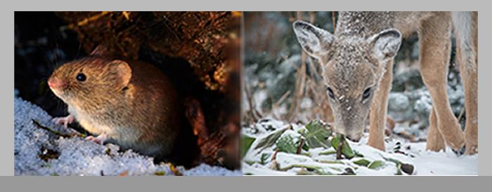 Vole and deer in winter