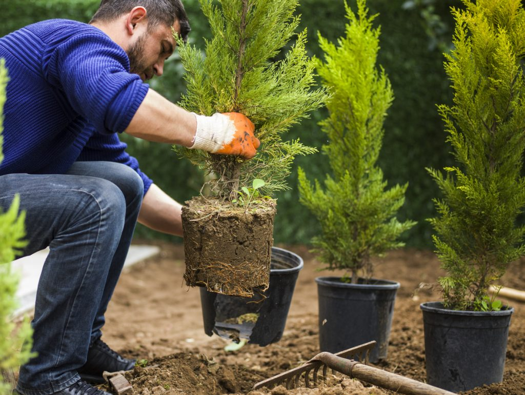 Planting in fall has many benefits. One of the many trees that does well when planted now is the evergreen. A gardener demonstrates how to carefully remove the tree, root and soil from the container in this photo.