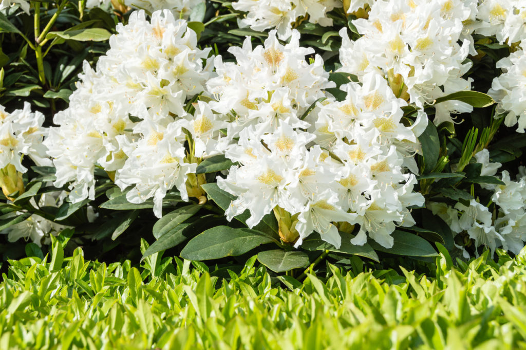 Beautiful flowering plants that deer don't like, such as rhododendron, can help protect other varieties in your garden. Planting deer resistant shrubs is one of many easy ways to help deter deer.