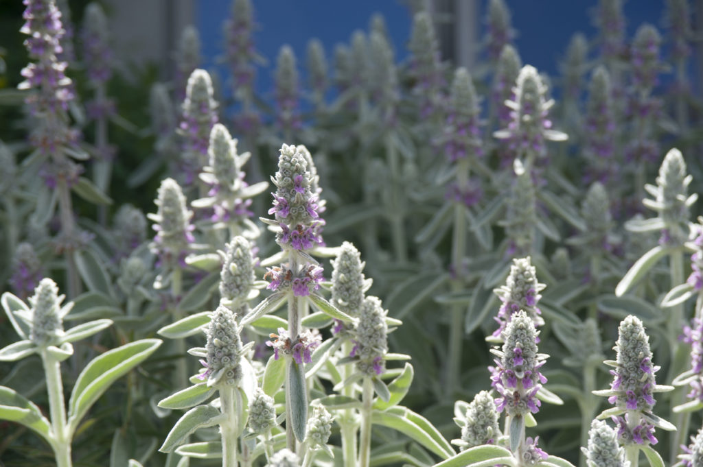Lamb's Ear flowers are a great choice for beautiful, textured flowers that keep the deer away.