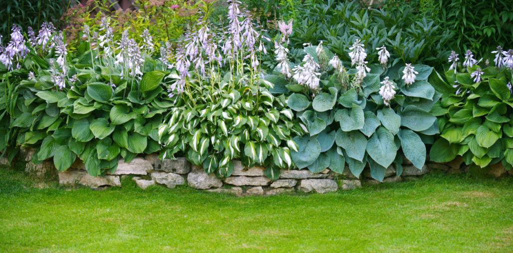 You can grow beautiful, healthy Hostas that deer will leave alone. Use safe, effective Bobbex Deer Repellent to keep deer from munching your plants.